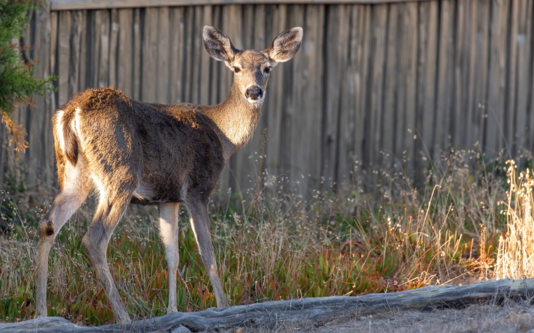 Urban Deer – British Columbia's Ticking Time Bomb